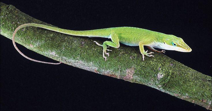 Cómo deshacerse de los lagartos o de las salamandras. Los lagartos y las salamandras invaden las casas y los jardines cuando buscan refugio o alimento. Los lagartos entran en los hogares debido a grietas y hendiduras alrededor de las ventanas o en los cimientos. Los lagartos y las salamandras son generalmente inofensivas, pero las personas suelen tenerles miedo. Ciertas especies de lagartos y ...