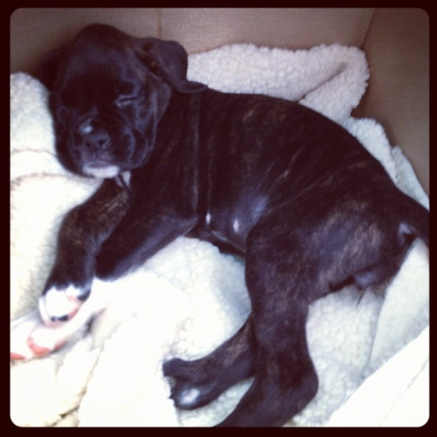 Harley!! Boxer Puppy...7 weeks old Animals Pinterest