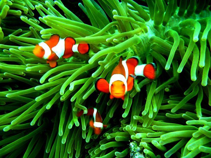 Deniz Akvaryumu Palyaco Balıkları Ve Anemonlar arasındaki müthiş bağ