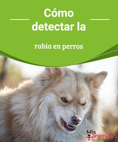 Cómo detectar la rabia en perros Te contamos todos los detalles para que aprendas a detectar la rabia en perros, esa mortal enfermedad infecciosa que pueden padecer todos los mamíferos. #enfermedad #salud #rabia #infección