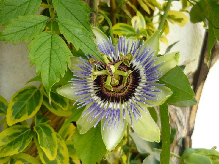 mučenka  Passiflora L.