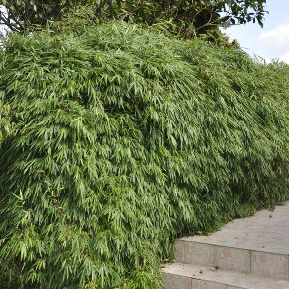 Petit bambou : Fargesia  rufa