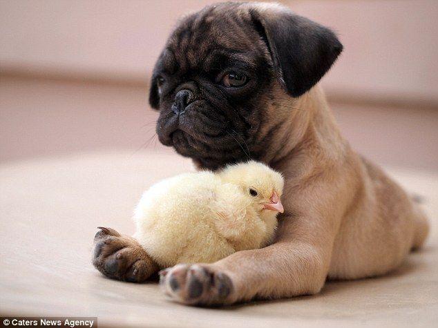 Nas Filipinas, a amizade entre um cachorro e um pintinho surpreende pela fofura!   O que opug Fugly e...