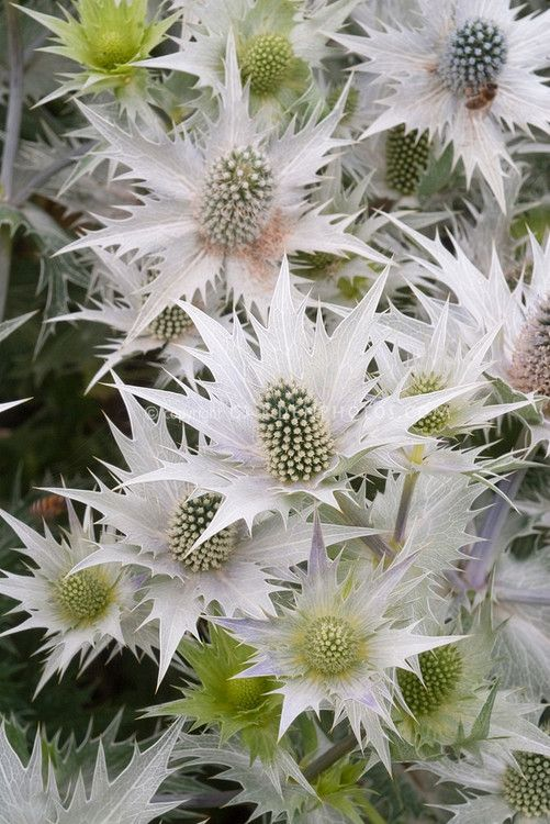 "Giant Sea Holly:  ""Miss Whilmot's Ghost"" Giant Sea Holly flowers Eryngium giganteum 'Silver Ghost'"