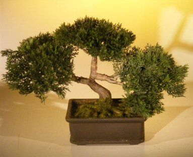Artificial Japanese Cedar bonsai tree.