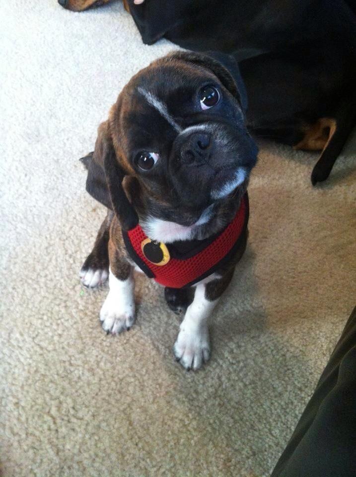 Ripley, our Bugg puppy (Boston Terrier/pug hybrid)