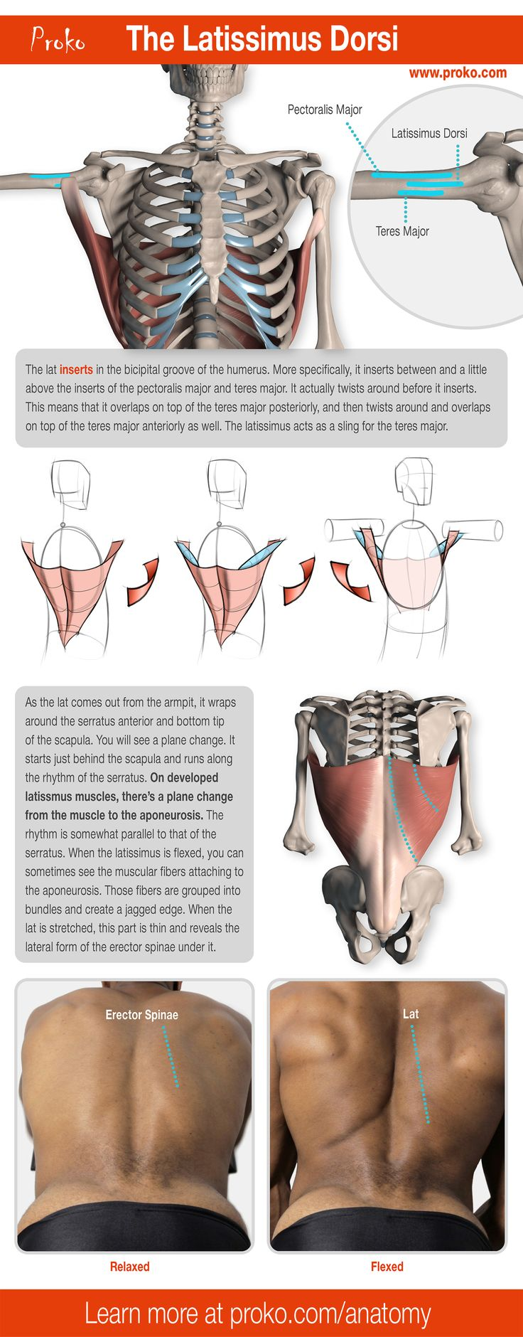 A detailed look at the latissimus dorsi. Learn more about the other lower back muscles and how to draw them by visiting proko.com.