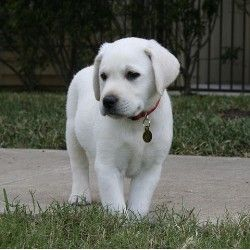 """White Labrador retriever. While there really is no such thing as a """"white Lab,"""" these dogs are really bred to be a very light colored variation of the yellow Lab.  They get as white as what they call a """"Snow White"""" lab.  ~Stephanie~"""