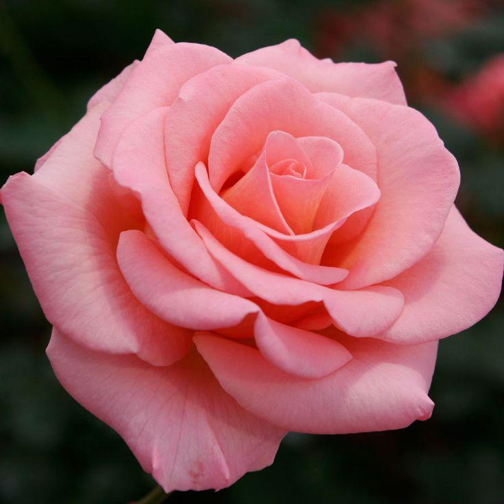 Jackson & Perkins - Flawless Salmon Pink Hybrid Tea Rose