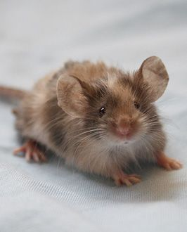 Fuzzy Baby Mouse