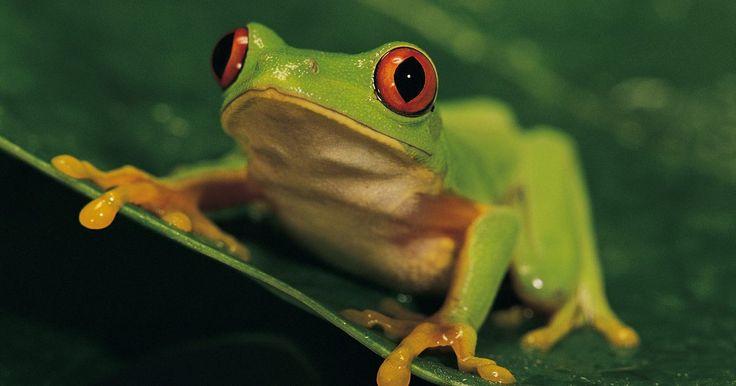 Similitudes de las ranas y los seres humanos. Hay muchas especies diferentes de ranas en todo el mundo, algunas de las cuales son mortales y venenosas, y algunas son inofensivas para los seres humanos. Las ranas son clasificados como anfibios, mientras que los humanos se clasifican como mamíferos. Sin embargo, las ranas y los seres humanos tienen mucho en común en términos de anatomía y ...