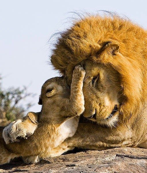 7 week old lion cub meets his dad for the first time
