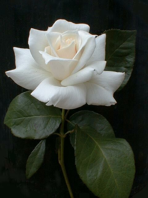 blanc | white | bianco | 白 | belyj | gwyn | color | texture | form | weiss | rose