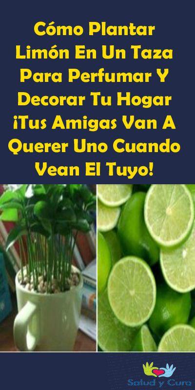 Cómo Plantar Limón En Un Taza Para Perfumar Y Decorar Tu Hogar ¡Tus Amigas Va…