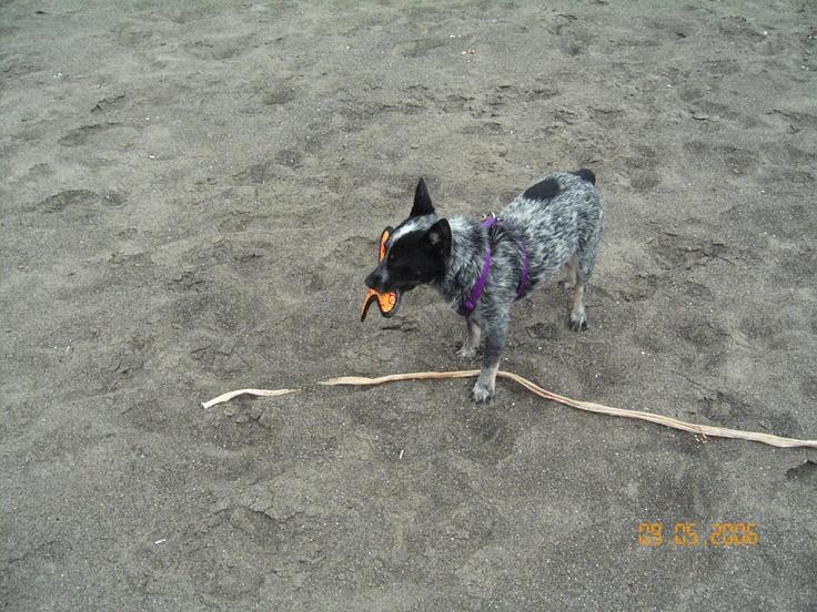 Callie S Frisbe Toss On Irish Beach Irish Beach Heeler Beach