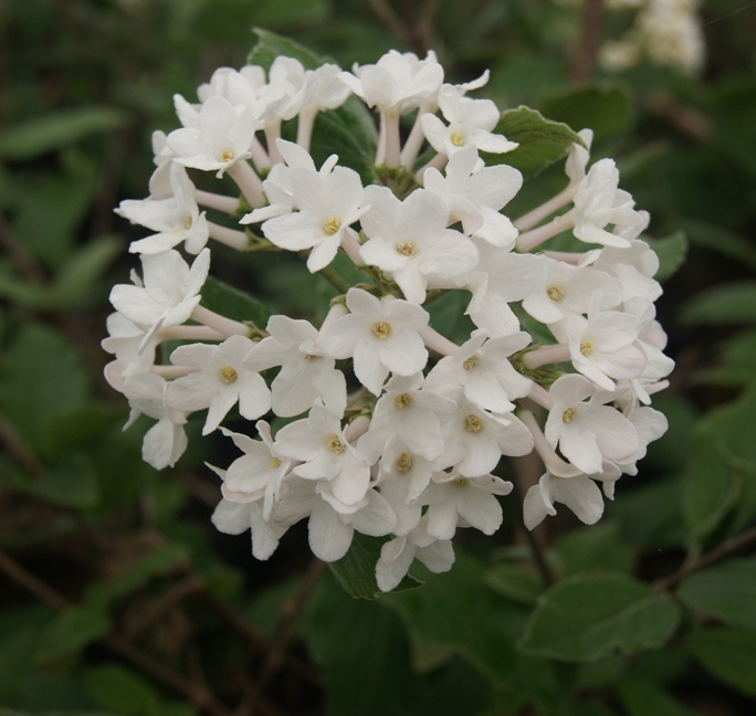 Small Ornamental Trees For Kansas: 23 Best Images About Plants For A Moonlight Garden On