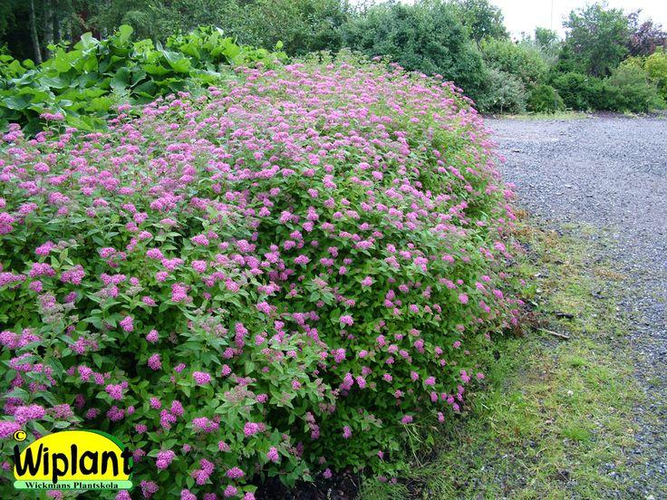 Låg häck, Spiraea japonica 'Lilly'. Spirea jap. 'Lilly', Röd praktspirea. För lägre avskärmningar. Beskärs årligen på våren och blommar rödrosa på årsväxten från juli. Fin höstfärg. 'Little Princess' är en ljusrosa variant för halvskugga. 0,6-0,8 m, friväxande.