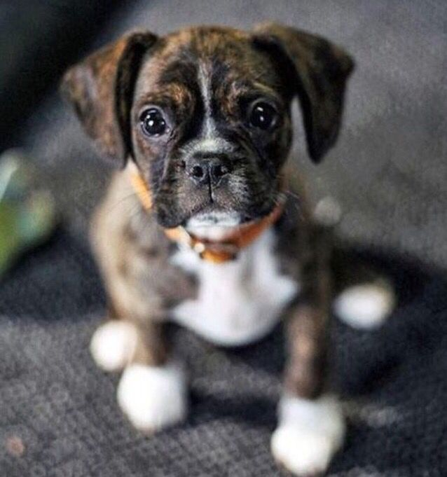 Boston terrier/boxer mix