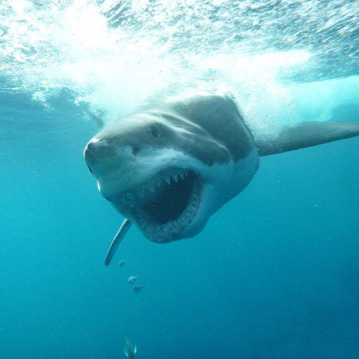 471 best ! S H A R K ! (shark) images on Pinterest | Great ...