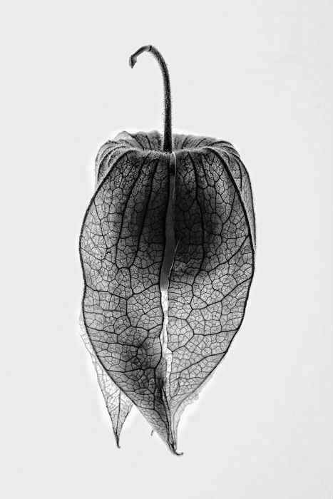 Sculptural natural forms. Black and white botanical photography. Silver blonde