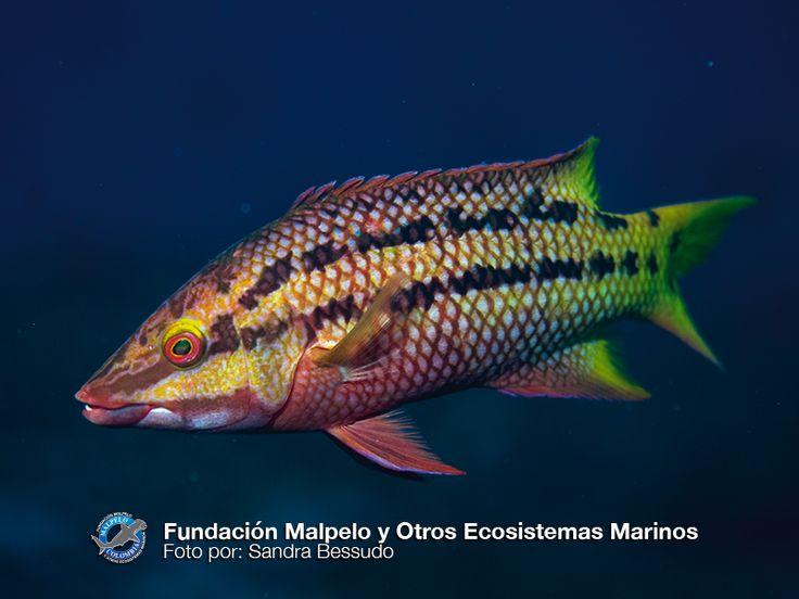 (Bodianus diplotaenia) Copetona, gallo, vieja mexicana. SFF Malpelo.