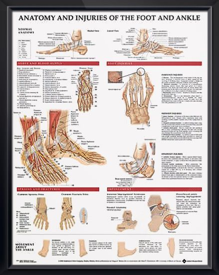 Anatomy and Injuries of the Foot and Ankle poster shows medial, frontal, lateral, and plantar views as well as a cross section. Muscles for doctors and nurses.