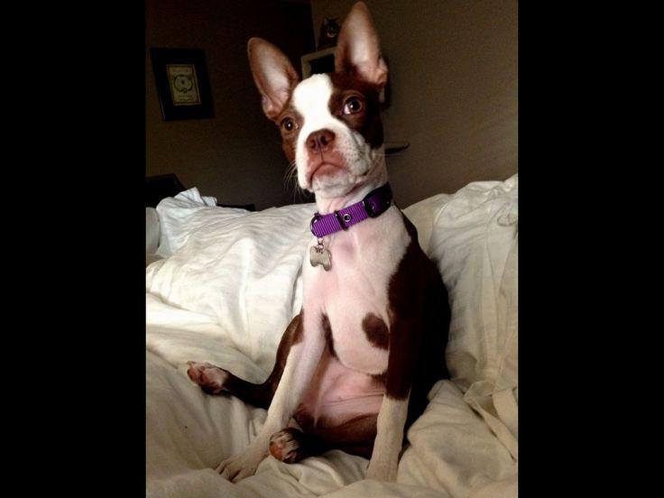 Boston terrier puppies san antonio