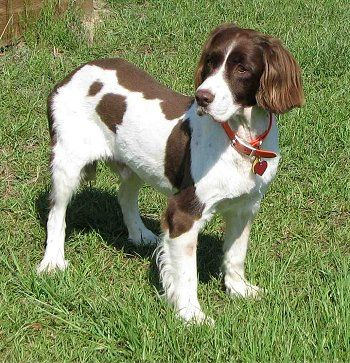 English Springer Spaniel. They are members of the sporting group. They are great gun dog and versatile competitor. They stand at 19-20 inches at the shoulder and weigh about 40-50 pounds. Winner: 1963, 1971, 1972, 1993, 2000, and 2007.