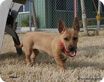 Patterson, CA - Basenji/Corgi Mix. Meet Ohana a Puppy for Adoption.