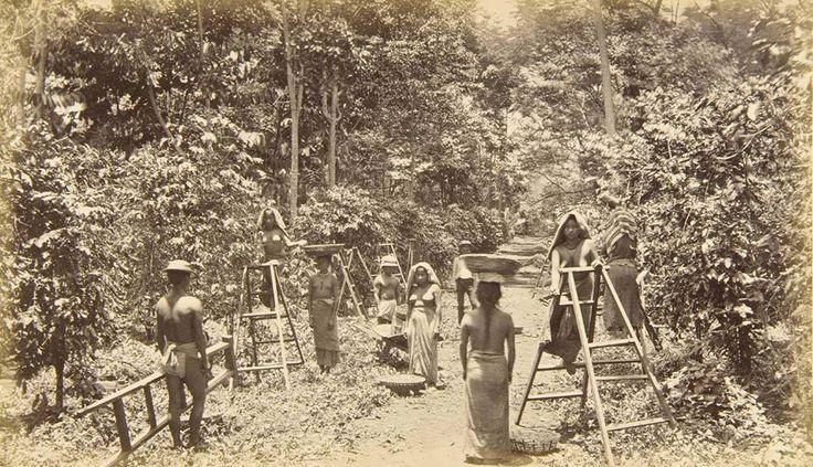 Arabica coffee picking process ,  El Salvador Circa 1880, probable location Sonsonate, Izalco