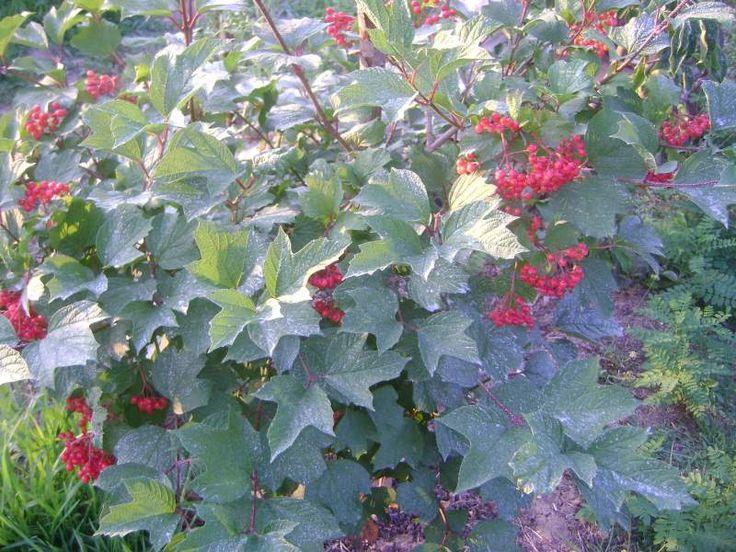 Athena- asena; Bağ Evimin Bahçesi - Sayfa 2 Gilaburu meyveleri iyice kızarmaya başladılar.