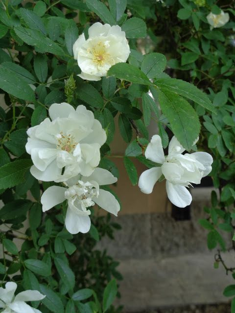 Rosa  'Purezza' di Mansuino -  Foto-diario di una giardiniera curiosa