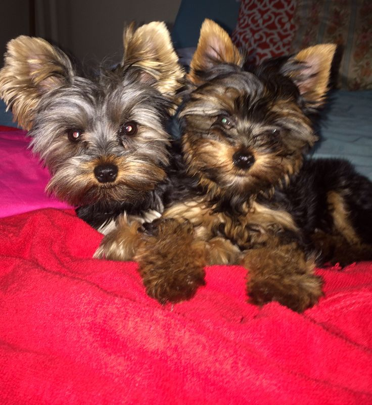 long hair chihuahua yorkie mix 1000 images about chorkies on pinterest yorkie 7192