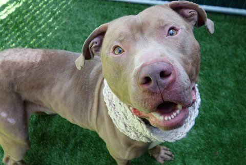 SENSELESSLY MURDERED 5/6/17 WITH NO SECOND CHANCE GIVEN READ HIS STORY AND WATCH HIS VIDEO PLEASE! THIS IS HEARTBREAKING AND THE TOTAL LACK OF COMPASSION IS COMPLETELY HEARTWRENCHING  /ij Manhattan Center CHURRO – A1110214 **HOLD FOR LEGAL** MALE, TAN, PIT BULL, 4 yrs STRAY – ONHOLDHERE, HOLD FOR LEGAL Reason OWN ARREST Intake condition EXAM REQ Intake Date 04/27/2017, From NY 10462, DueOut Date 05/04/2017, I came in with Group/Litter #K17-095310. Came in With LEON - A1110212