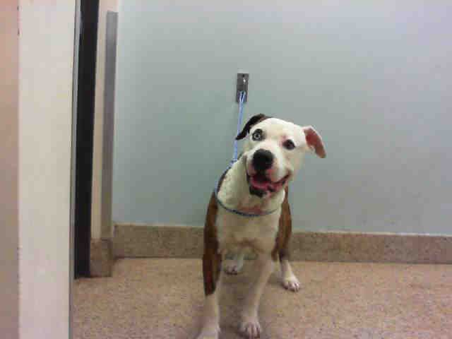 🚩 9-22-17:  🌻SCRAPPY - ID#A1359697  I am a neutered male, brown and white American Bulldog.  The shelter staff think I am about 6 years old  I have been at the shelter since Aug 26, 2017.