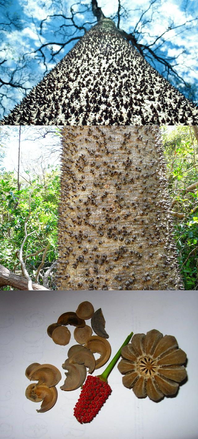 German company builds the ultimate indoor cat walkway softpedia - The Sandbox Tree Hura Crepitans Has Explosive Seed Pods That Launch Seeds Up To