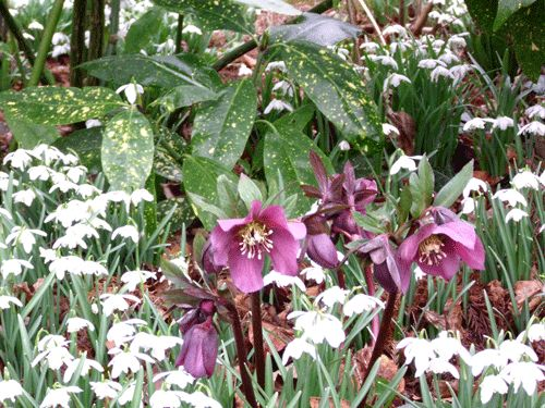 I+think+snowdrops+are+an+essential+plant+for+any+garden.