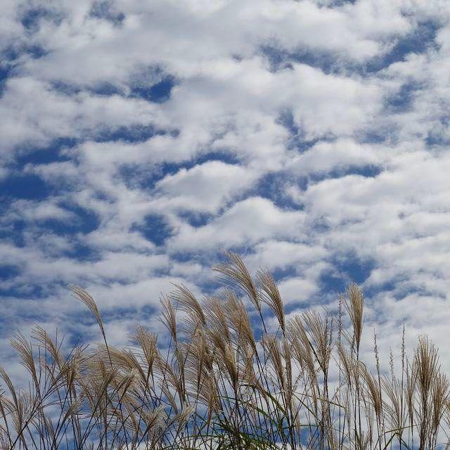 ススキと秋の空 #愛媛県 #久万高原町 #畑野川 #すすき #ススキ #うろこ雲 #秋の空 #秋の風景 #setouchigram63 #写真好きな人と繋がりたい