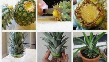 Como plantar una piña, una nueva vida