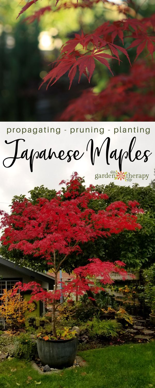 Japanese maples are ideal as a four-season interest tree that fits well in a small-space garden. There are many varieties of Japanese maples with brilliantly colored leaves, architectural branching structure, and interesting shapes. With so many to choose from, you're sure to be able to find one or two that would be a strong focal point in your garden. What's even more fascinating is how they are propagated. #gardentherapy #japanesemaple #japanesegarden #maple #gardening #propagate