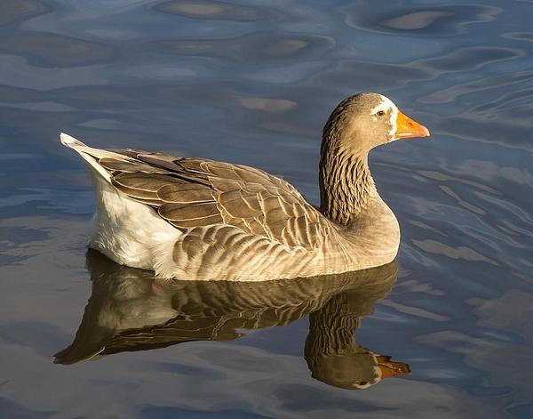 Speckle Belly Goose Fine art, Fine art america