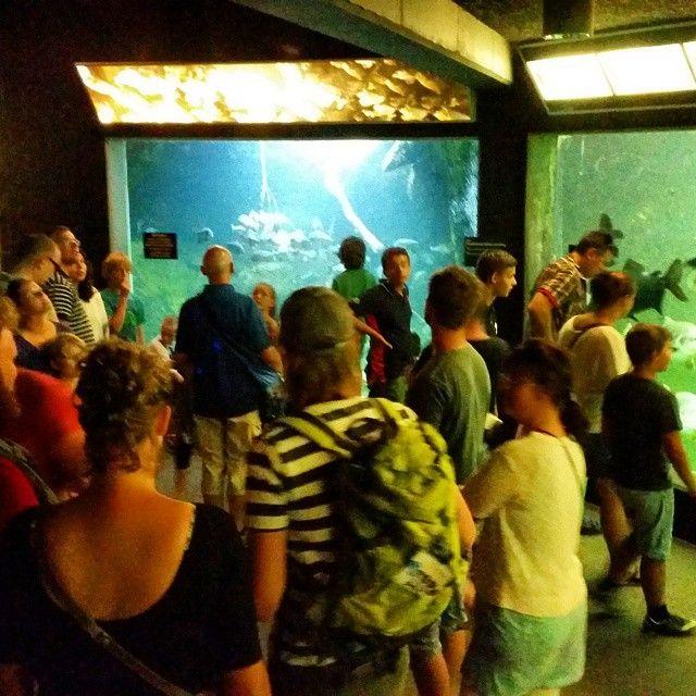 Piratfiskene fodres i #Odense zoo. Ferie med Familiens farvorit zoo. Der er ingen tvivl om at det er den bedste zoo i Danmark. #odensezoo @odensezoo