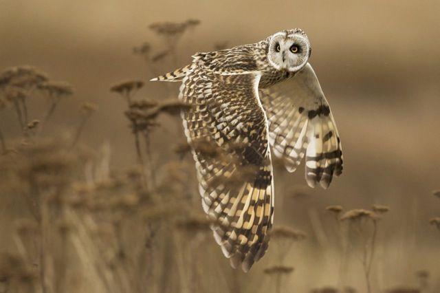 ナショナルジオグラフィック・フォトコンテスト(National Geographic Photo Contest)2014 > 自然(Nature)・部門 入賞作品:「Shoulder Creek」 獲物を横取りされ真横を向きながら飛び去る野生のコミミズク(short-eared owl)。ハイイロチュウヒなどの猛禽類はフクロウから獲物を横取りすることがよくあるそうです。