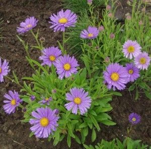 Aster alpinus, for rock garden