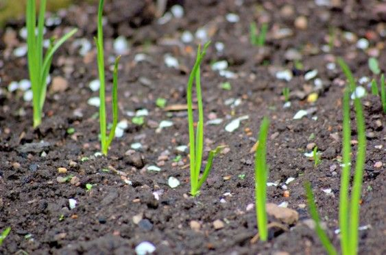 tips for growing onions