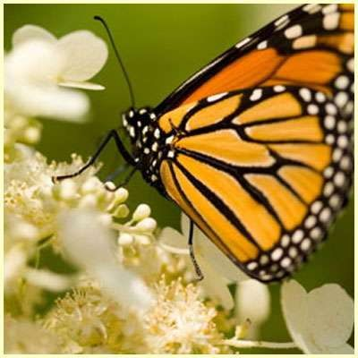 In this article I'll be demonstrating some of the essential monarch butterfly facts for kids including monarch diet, habitat, reproduction, and predators.
