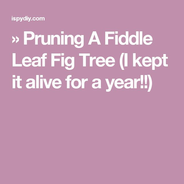 » Pruning A Fiddle Leaf Fig Tree (I kept it alive for a year!!)