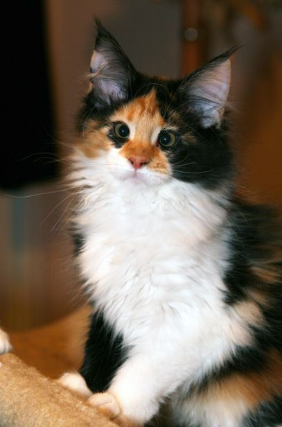 What a cute face on this little Maine Coon Kitten. How could you be sad coming home to that cross eyed sweetie?
