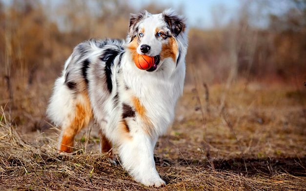 Australian Shepherd Dog / Details / Temperament / Qualities
