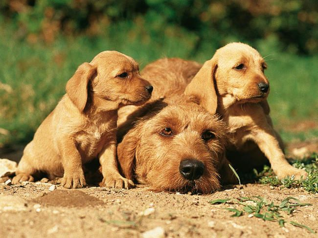 basset fauve de bretagne photo | life of animals basset fauve de bretagne the basset fauve de bretagne ...